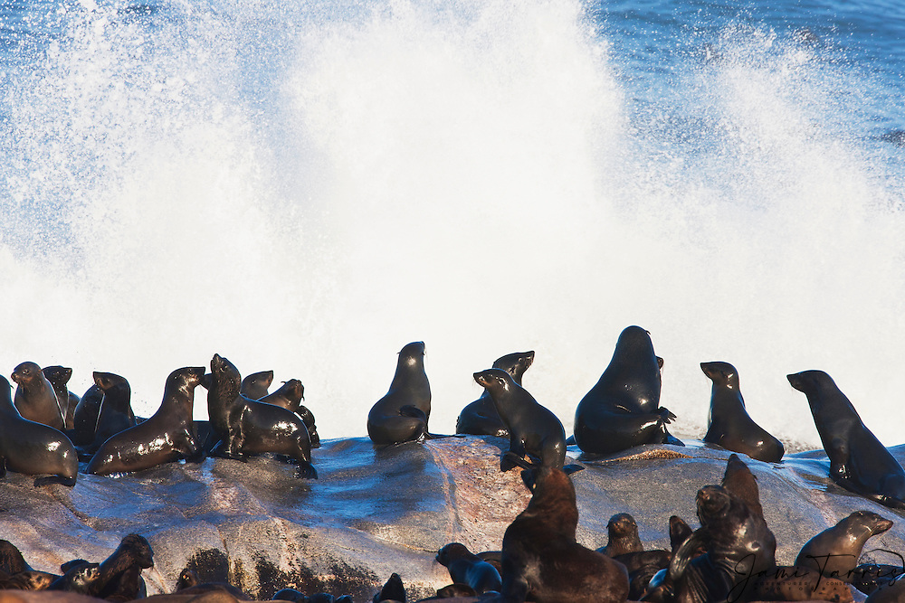 A colony of Cape or brown fur seals (Arctocephalus pusillus) relax on the boulders after their morning swim, Skeleton Coast, Namibia
