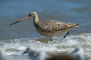 Marbled godwit (Limosa fedoa)<br /> Little St Simon's Island, Barrier Islands, Georgia<br /> USA<br /> HABITAT & RANGE: Mudflats, marshes and beaches of Americas