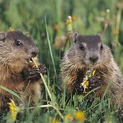 WoodChuck or Groundhog (Marmota monax) Pair feeding on dandelions. Montana. Spring. Captive Animal.
