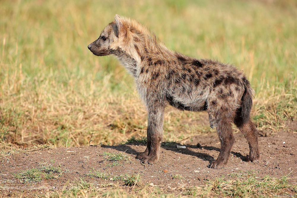 The spotted hyena is one of two Hyenas found in Kenya (the other being the shy, purely nocturnal Striped Hyena).  Social animals with high intelligence, hyenas form hunting packs and frequently clash with lions over food and territory.  Spotted hyenas derive the majority of their nourishment by hunting medium sized ungulates