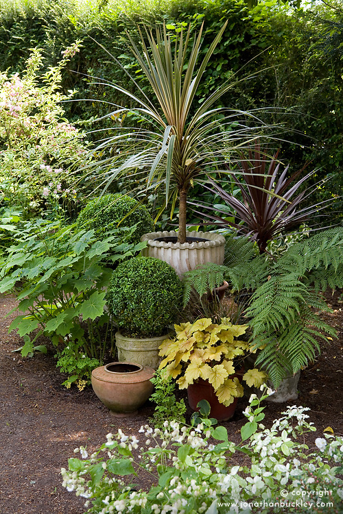 Collection of foliage plants in pots in a shady area of the garden including box, tree fern, Kirengeshoma palmatum, Cordyline australis 'Torbay Dazzler' and C.a. 'Purpurea'.