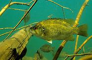 Rock Bass, Underwater
