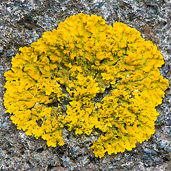 Lichen on rock at Wonderland in Maine's Acadia National Park.
