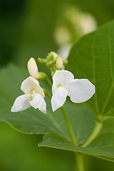 White flowered runner bean 'White Lady'