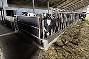 Nederland, Dreumel, 2-4-2018 Koeien staan in de stal bij een melkveebedrijf. De dieren eten gras, hooi, kuilvoer. Er is een open dag georganiseerd door Albert Heijn .Foto: Flip Franssen
