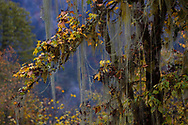 Moss and lichens as part of Tree biodiversity in Fall colours, Humid montane mixed forest, Laba He National Nature Reserve, Sichuan, China