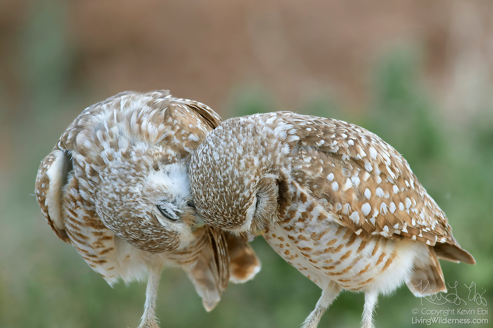 A pair of burrowing owls (Athene cunicularia) cuddle in Zanjero Park, Gilbert, Arizona. The population of burrowing owls has been declining. Zanjero Park features a man-made burrowing owl habitat with burrows manufactured from PVC pipe.