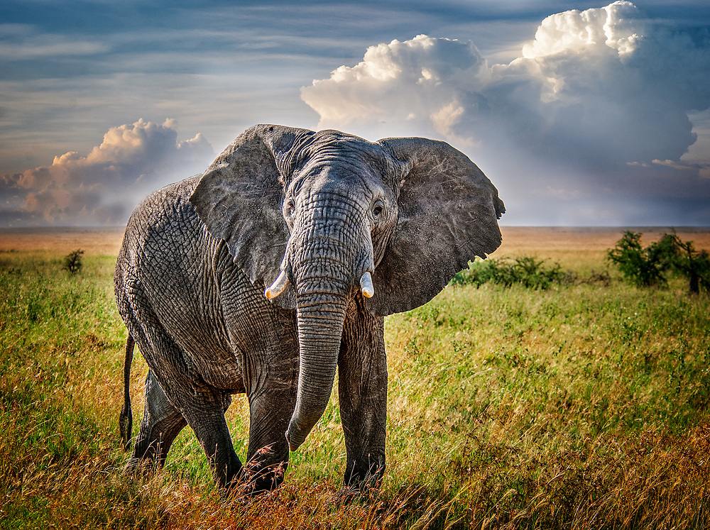 Aggressive elephant in Serengeti, Tanzania