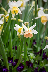 Narcissus 'Katie Heath'  in a pot lasagne with Viola x cornuta 'Sorbet Phantom' F1 and Iris reticulata 'Purple Tower'