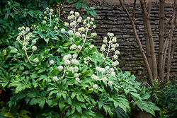 Fatsia japonica 'Moseri'  - False castor oil plant - growing in a shady border