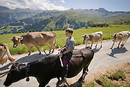 Boy farmer driving cattle in the Swiss Alps, Flumserberg, Sarganserland, Switzerland