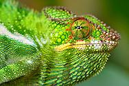 Panther chameleon (Furcifer pardalis) in eastern Madagascar.