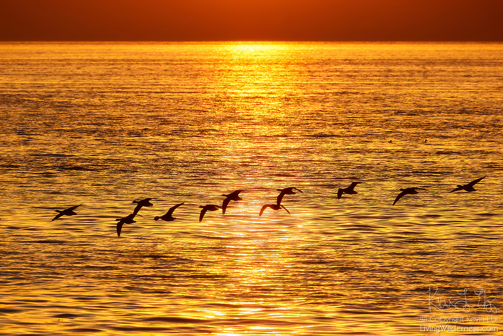 A flock of Canada geese flies over Puget Sound as a sunglint stretches across the water at sunset in this view from Marina Beach Park, Edmonds, Washington.