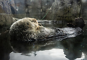 A sea otter rests on its back with feet in the air. The sea otter (Enhydra lutris) is a marine mammal native to the coasts of the northern and eastern North Pacific Ocean. Photographed in the Vancouver Aquarium, 845 Avison Way, Vancouver, British Columbia, V6G 3E2 CANADA.