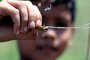 In a rice paddy near Ubud, Bali (Indonesia), a young boy catches dragonflies with a wand made from jackfruit palm frond stem tipped with sticky jackfruit sap. He pulls the dragonfly off the end of the wand before skewering it on a stick to take home. Past generation of Balinese kids routinely caught dragonflies this way, then dewinged, and stir-fried them with coconut oil: a crispy protein snack. This practice has mostly disappeared due to a more prosperous population that has ready access to chicken. Image from the book project Man Eating Bugs: The Art and Science of Eating Insects.