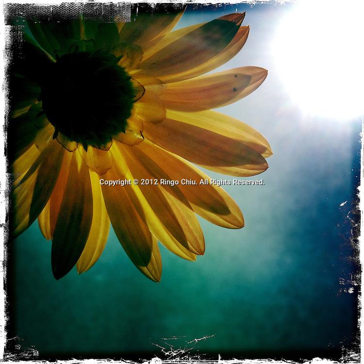 A daisy is seen in Carlsbad, north of San Diego, California, USA. (Photo by Ringo Chiu/PHOTOFORMULA.com).