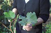 Vine leaf. Vieux Chateau Gaubert, Graves, Bordeaux, France