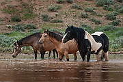 A wild stallion beside his mares at a watering hole in Wyoming's badlands.