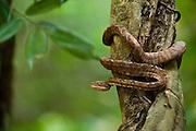 Amazon Tree Boa (Corallus hortulanus)<br /> Savannah<br /> Rupununi<br /> GUYANA. South America<br /> RANGE: South America in southern Colombia east of the Andes, southern Venezuela, Guyana, Suriname, French Guiana, Amazonian Brazil, Ecuador, Peru and Bolivia.