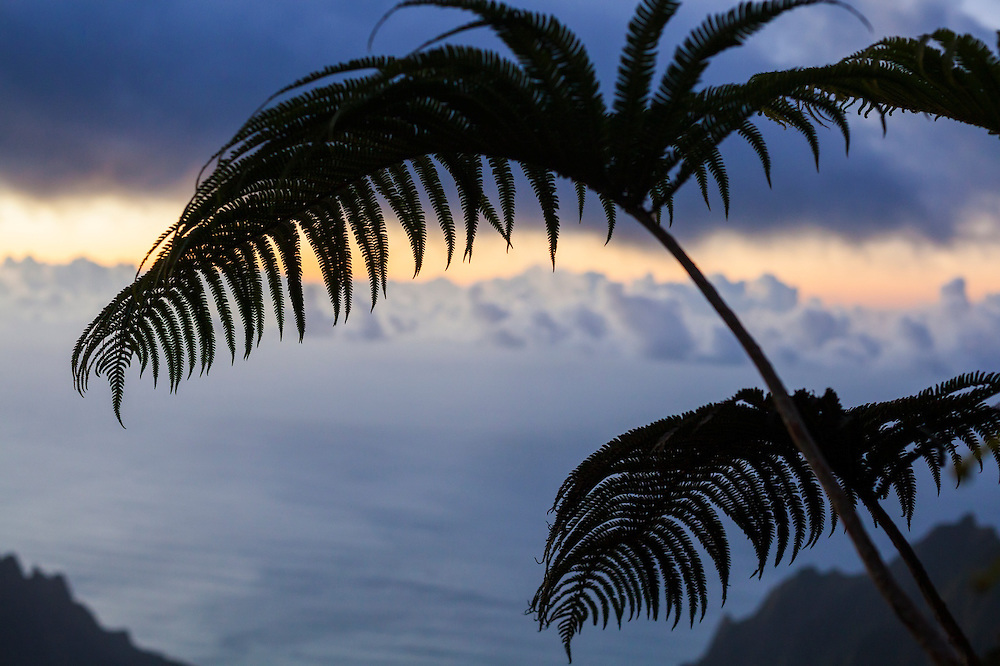 Silhouette of an endemic amau fern (Sadleria sp.) along the Pihea Trail, Kokee State Park, Kauai, Hawaii.
