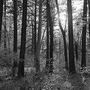 Spring woods in Massachusetts
