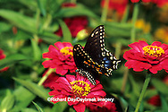 03009-00812 Black Swallowtail (Papilio polyxenes) on Zinnia sp., Marion Co.  IL