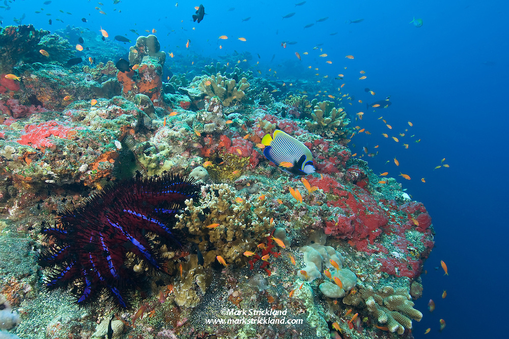 A Crown-Of-Thorns starfish, Acanthaster planci, and an Emperor Angelfish, Pomacanthus imperator, are among many examples of healthy marine life living on the edge of a vertical wall at Barren Island, Andaman Islands, Andaman Sea, India