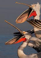 Dalmatian Pelican (Pelecanus crispus) at the Lake Kerkini, Macedonia, Greece.
