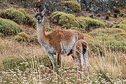 A guanaco nurses its young, known as a chulengo. The guanaco (Lama guanicoe) is a camelid native to South America, closely related to the llama. Its name comes from the Quechua word huanaco (modern spelling wanaku). Location: Chacabuco Valley, near Cochrane, in Chile, South America. Patagonia National Park consists of the Tompkins Conservation donation in addition to the former national reserves of Jeinimeni and Tamango, plus fiscal land. Parque Patagonia was created by Conservacion Patagonica, a nonprofit incorporated in California and founded in 2000 by Kris Tompkins. On January 29, 2018, Chilean President Michelle Bachelet and Kris Tompkins signed a decree creating 5 national parks, including Patagonia National Park.