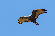 Zone-tailed Hawk - (Buteo albonotatus