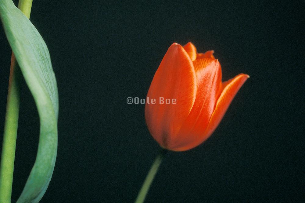 Still life of red tulip