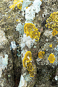Lichen fungus organism growing in symbiotic process on ancient tree bark, United Kingdom