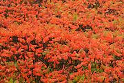 Sumac in autumn color<br /> Baysville<br /> Ontario<br /> Canada