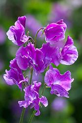 Lathyrus odoratus 'Richard and Judy'. Sweet pea