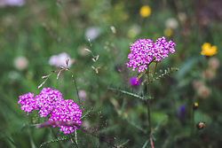 THEMENBILD - die gemeine Schafgabe (Achillea millefolium) in rosa auf einer Bergwiese. Diese Farbe kommt selten vor, aufgenommen am 28. Juli 2019 in Fusch a. d. Grossglocknerstrasse, Oesterreich // the common sharpness (Achillea millefolium) in pink on a mountain meadow. This colour rarely comes in Fusch a. d. Grossglocknerstrasse, Austria on 2019/07/28. EXPA Pictures © 2019, PhotoCredit: EXPA/Stefanie Oberhauser