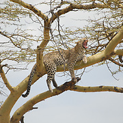 Leopard chilling after successful hunt in a tree.