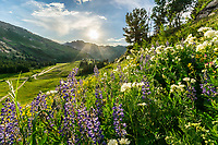 Hills covered in lupine and yellow balsamroot wildflowers are a spectacular sight to see in Utah's Albion Basin in the Wasatch Mountains. They provide an ideal landscape photography opportunity and a perfect scene for a corporate interior or hospital print.