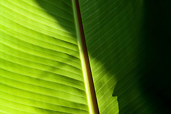 Sunlight shining through the leaves of Ensete ventricosum in the exotic garden at Great Dixter. Banana