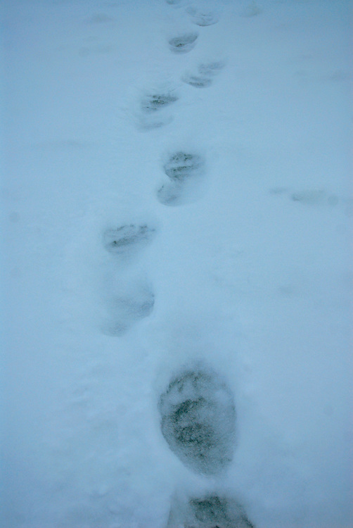 Barrow, Alaska. Polar bear tracks on the ice of the Arctic Ocean during Spring. May 2007