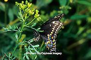 03009-01019 Black Swallowtail (Papilio polyxenes) female laying eggs on Rue (Ruta graveolens) Marion Co. IL