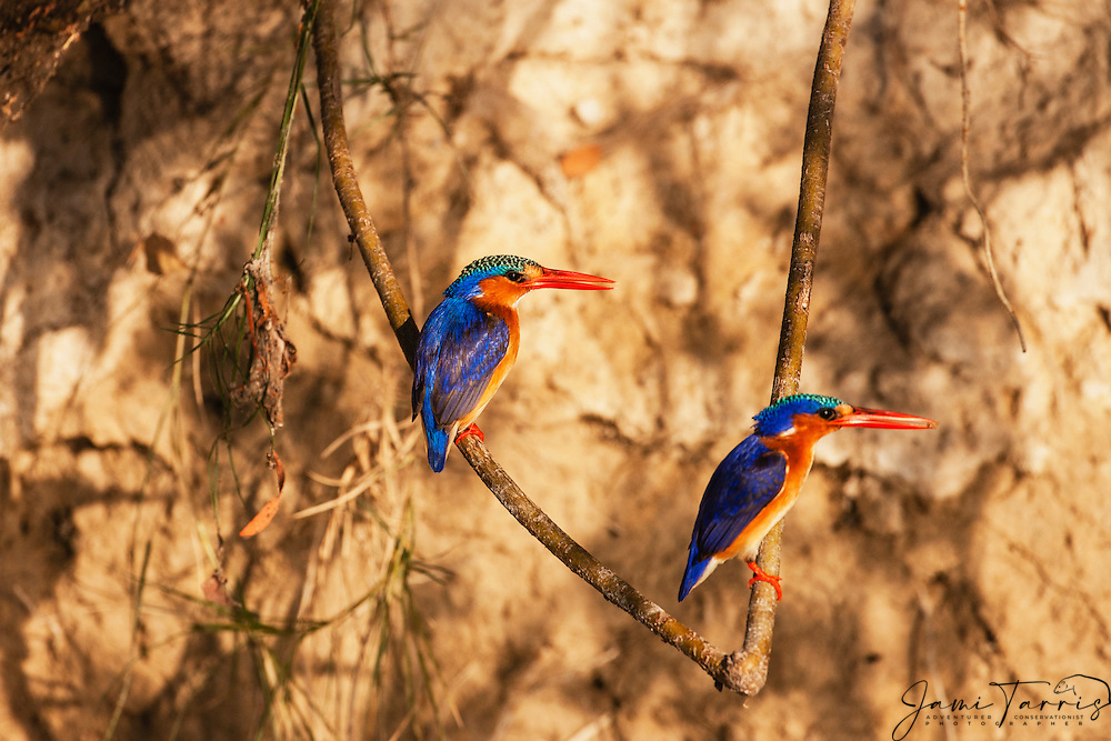 A pair of Malachite kingfishers (Alcedo cristata) perch on a low branch while fishing, Okavango Delta, Botswana,Africa