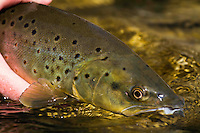 A beautiful Provo River Utah Brown Trout as it is being released into the clear late Fall water.
