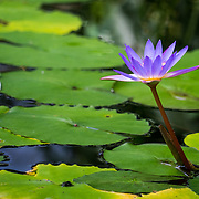 A purple water lily stands above lily pads floating on the surface of a pond. Photo by Adel B. Korkor.