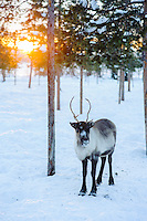 A young reindeer calf