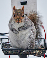 I know I am a fat Squirrel, but you forgot to fill the birdfeeder and it is snowing out. Image taken with a Nikon D850 camera and 500 mm f/4 VR lens.