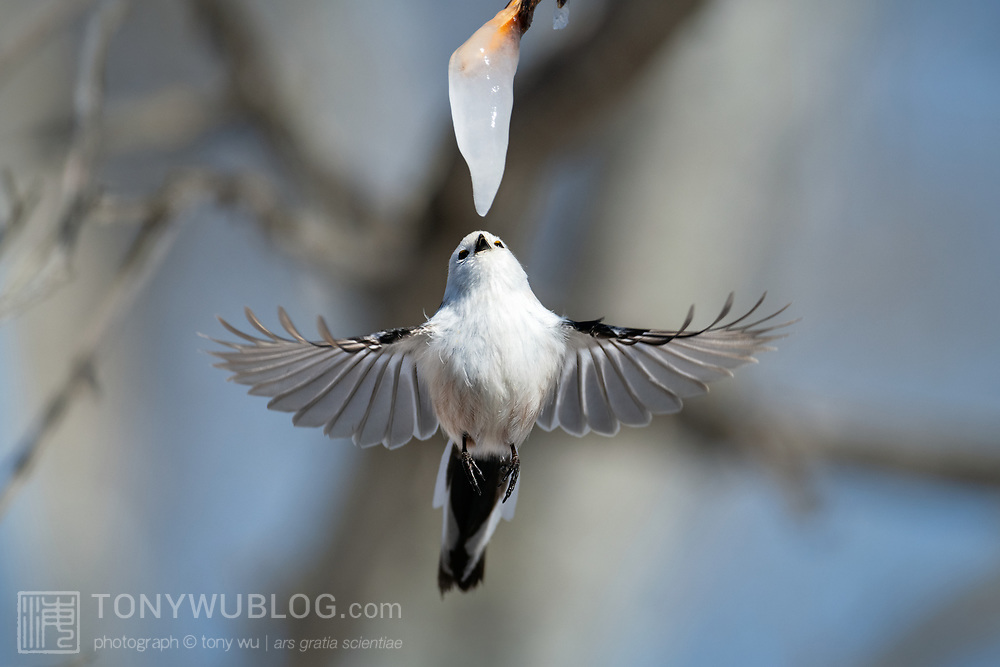 This is a long-tailed tit (Aegithalos caudatus) hovering in front of an icicle formed from the sap of a painted maple tree (Acer pictum). During winter months, small birds like this make use of this calorie-rich food source (essentially frozen maple syrup) to fuel their high metabolisms. The birds fly to an icicle, hover, break off a piece and fly away, all in the blink of eye.