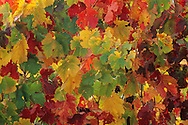 Grape leaves on vines in fall, Hanna Vineyards, Alexander Valley, Sonoma County, California