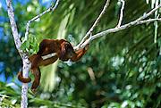 Red Howler monkey resting in tree - Amazonia, Peru.
