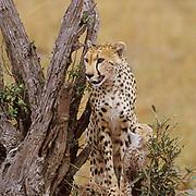Cheetah, (Acinonyx jubatus) Mother and cub on termite mound. Masai Mara. Kenya.
