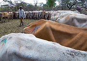 DROUGHT IN ETHIOPIA<br /> <br /> The Borana tribe, part of Oromo people who make up around a third of the Ethiopian population, is suffering from drought for months. Cows are dying, meanwhile many people are complaining the lack of support from the government, thus generating massive uprisings, repressions and killing hundreds of protesters.<br />  Borana live in Kenya, Ethiopia and Somalia with a population of 500,000. They are semi pastoralists. Their life depends on their livestock, which are their only wealth. Their cattle are used in sacrifices and also as dowry or to pay legal fines. For one year, there has been no rain and more than 15,000 cows have died in Ethiopia.<br /> <br /> Photo shows:Cows suffering from the drought grouped in fences to be fed by the governement, Oromia, Yabelo, Ethiopia<br /> ©Eric lafforgue/Exclusivepix Media